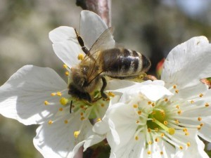 Prava Kranjska čebela